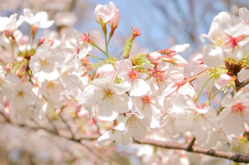 xcherry-blossom_00034_jpg_pagespeed_ic_Z2YD9ceC-h.jpg